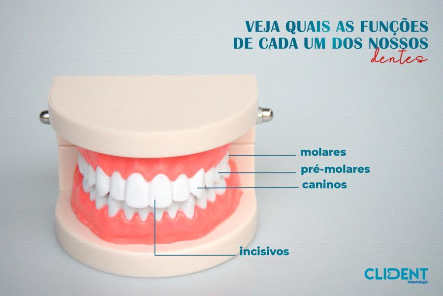 Veja quais as funções de cada um dos nossos dentes